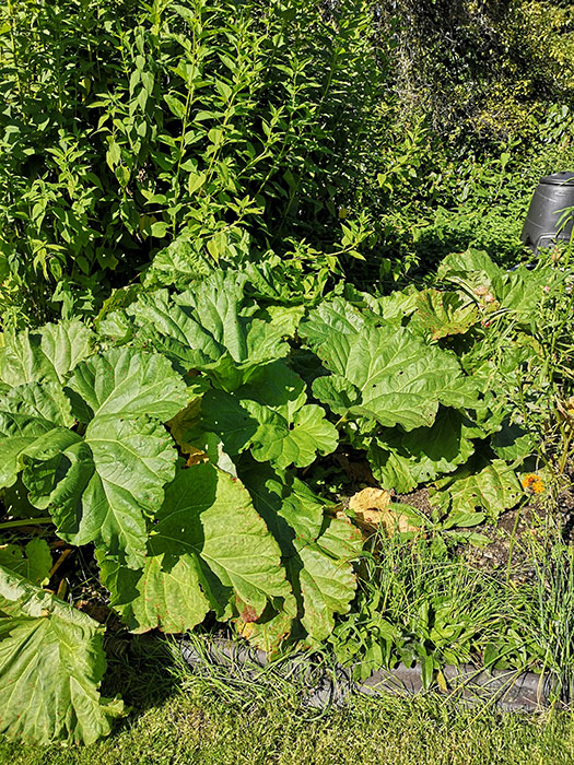 Rhubarb at New Inn Mill