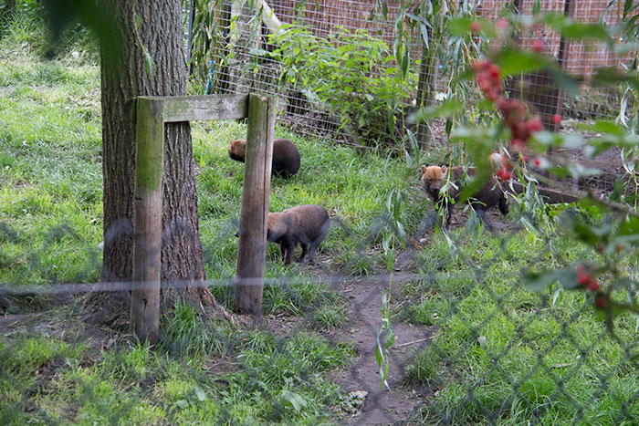 Bush dogs at Knowsley Safari Park