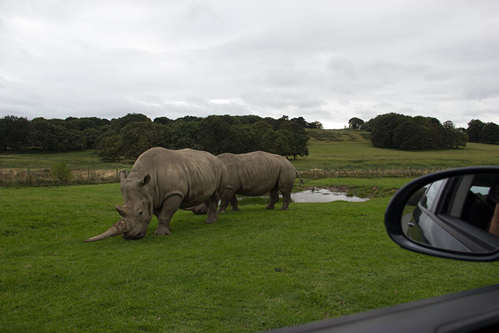 Rhinos eating
