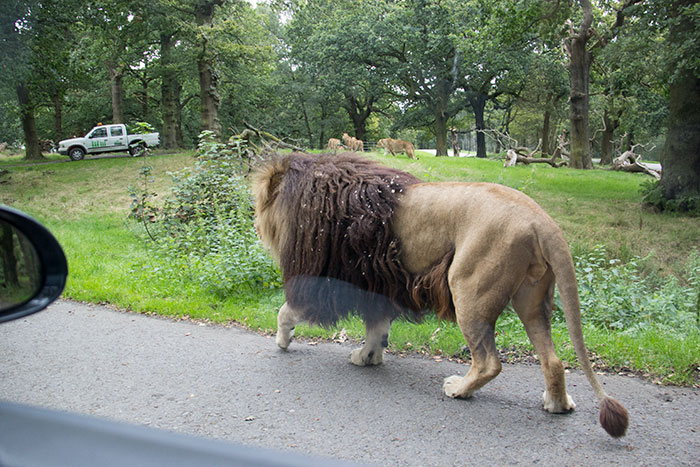 Lion walking at Knowsley safari park