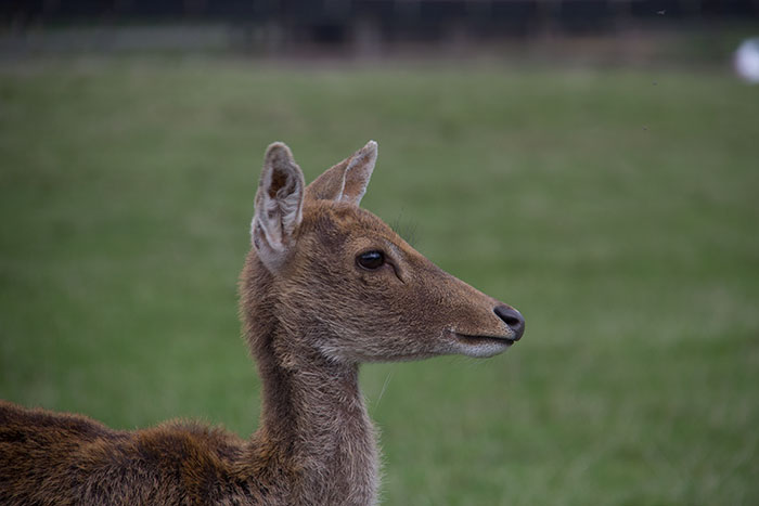 Close up with deer at Knowsley Safari Park - October