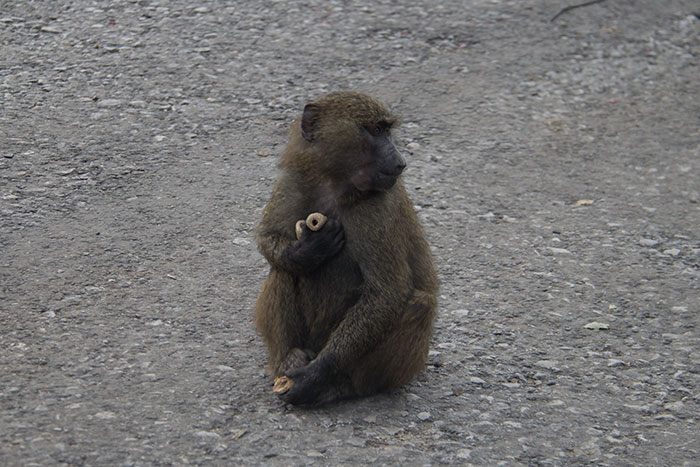Monkey with lots of food at Knowsley Safari Park - October