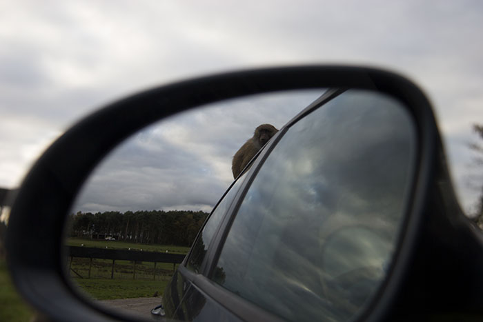 Monkey on the car at Knowsley Safari Park - October