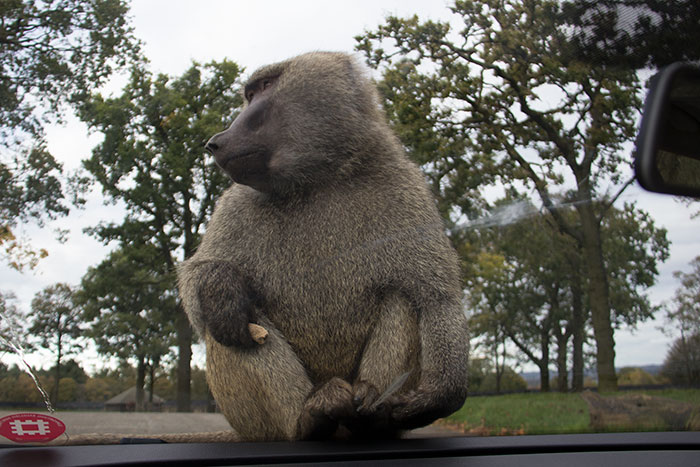 Monkey having a meal on the car at Knowsley Safari Park - October