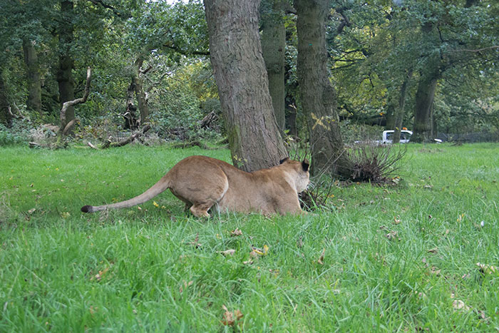 Lion at Knowsley Safari Park - October