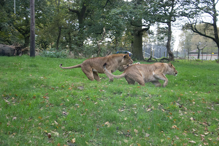 Lions playing at Knowsley Safari Park - October