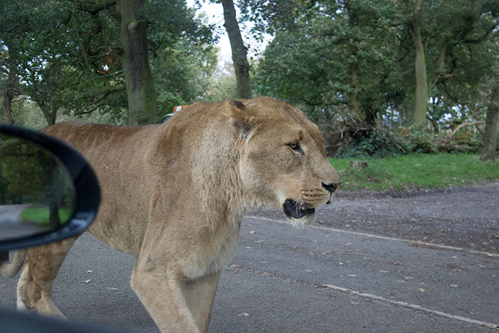 Lion near our car at Knowsley Safari Park - October