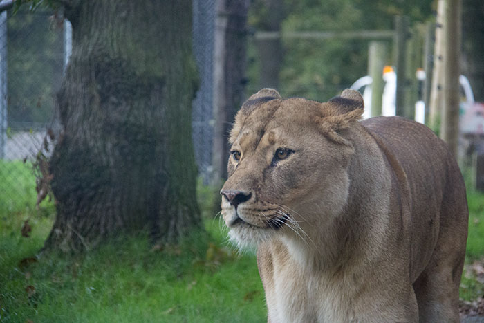 Close up with Lion at Knowsley Safari Park - October