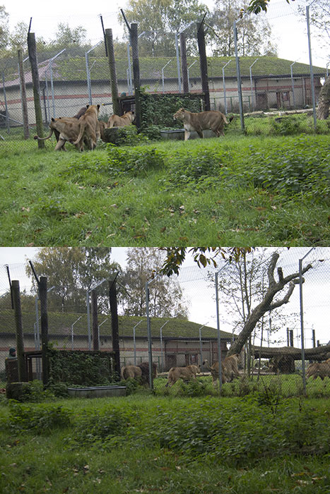 Lions going in their enclosure to eat at Knowsley Safari Park - October