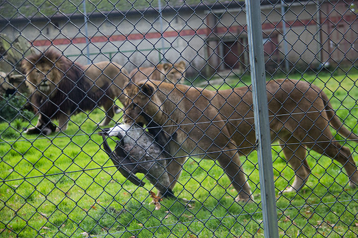 Lions eating at Knowsley Safari Park - October