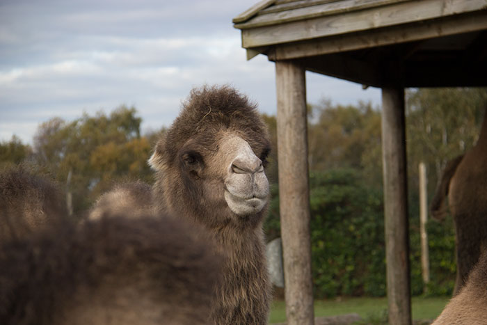 Close up with Camel at Knowsley Safari Park - October
