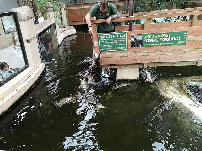 Crocodiles Feeding by keeper