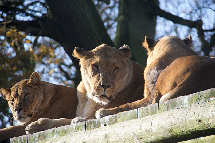Lion looking at other lions