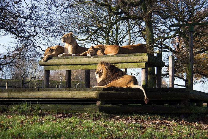 Lions enjoying the sun