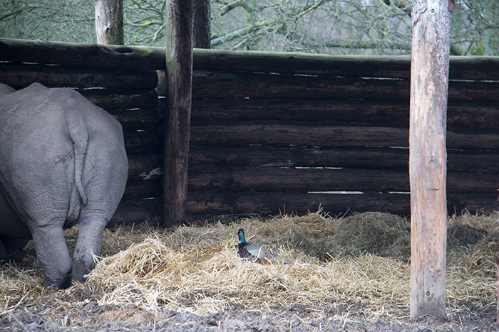Rhino and pheasant