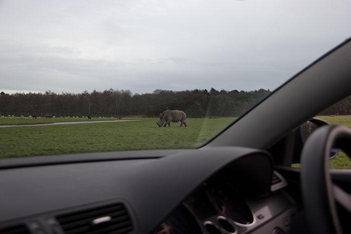 Rhino, seen from the car