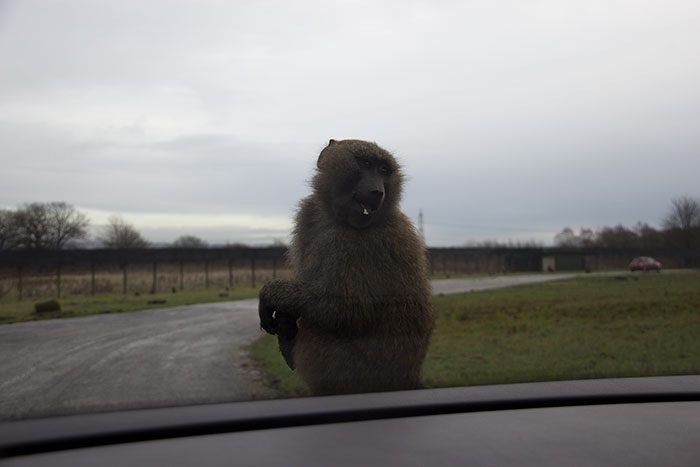 Monkey on the car