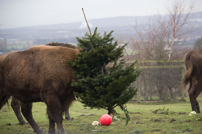 Bison with a tree on his head