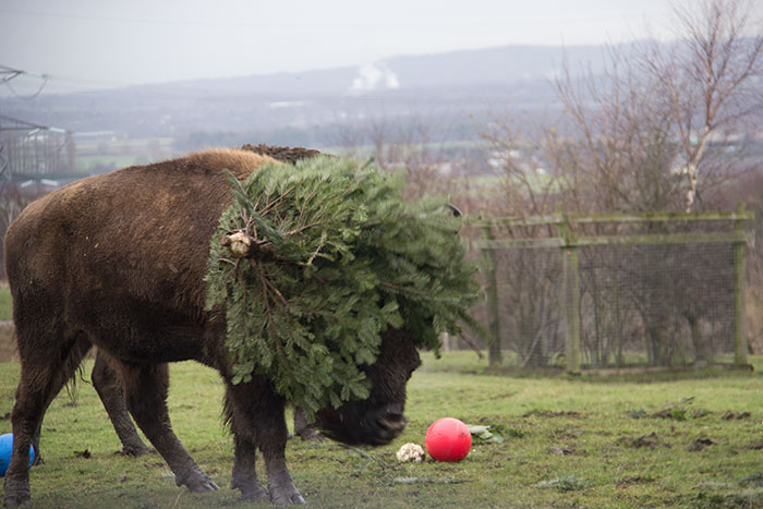 Bison playing with a christmas tree