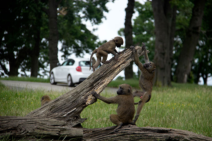 Monkeys playing at Knowsley Safari Park