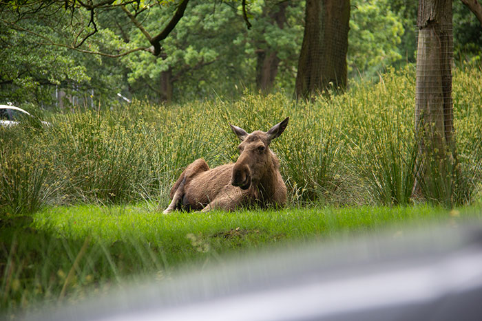 Knowsley Safari Park - Moose