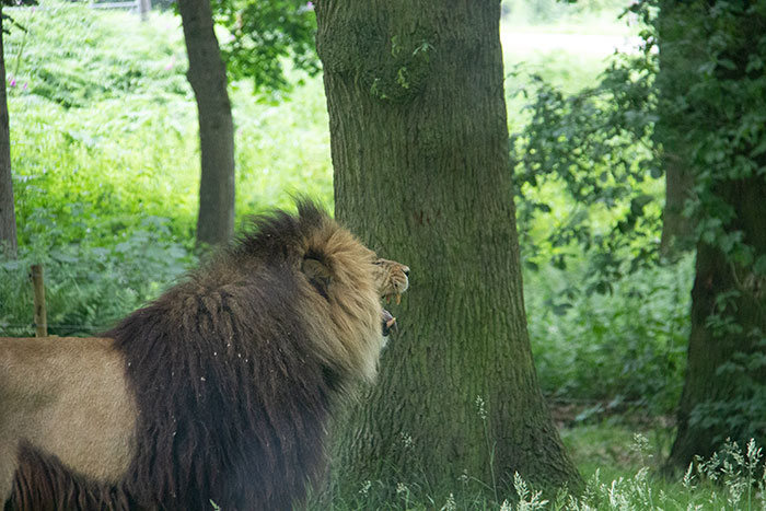 Knowsley Safari Park - Lion