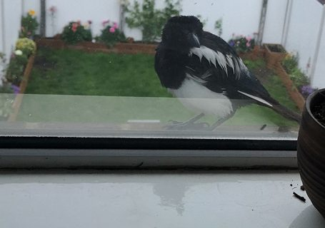 Magpie looking at himself
