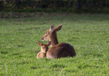 deer with baby