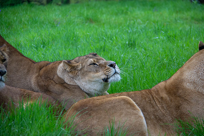 Lioness at Knowsley Safari Park