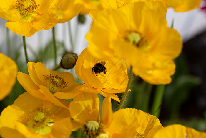 Bee on poppies