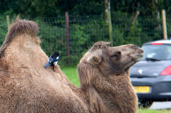 Camel with magpie