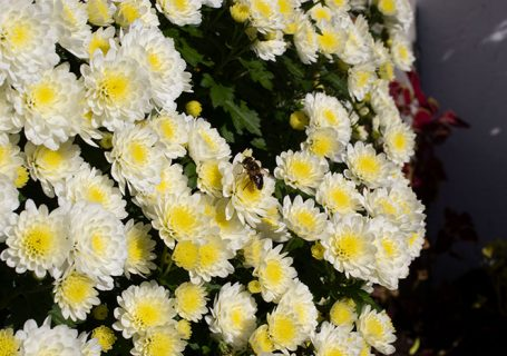 Bee on Chrysanthemums